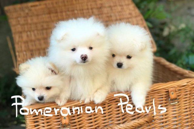 Pomeranian Pearls